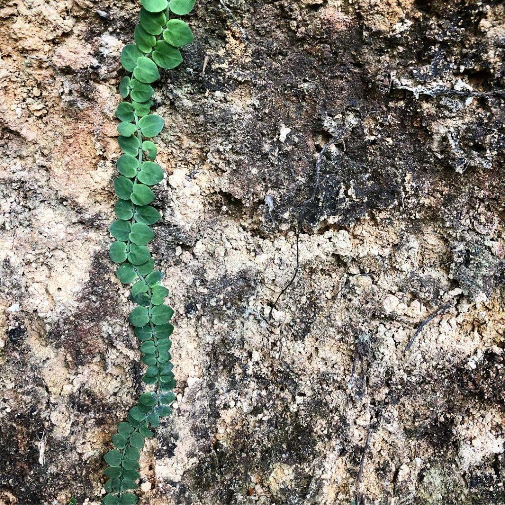 צמח מטפס לאורך השביל. צילום: עינב דורון