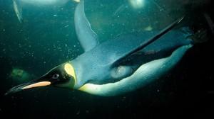 פינגווין קיסרי שוחה באקווריום