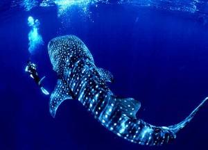 צוללן עם כריש לוויתן, אוטילה