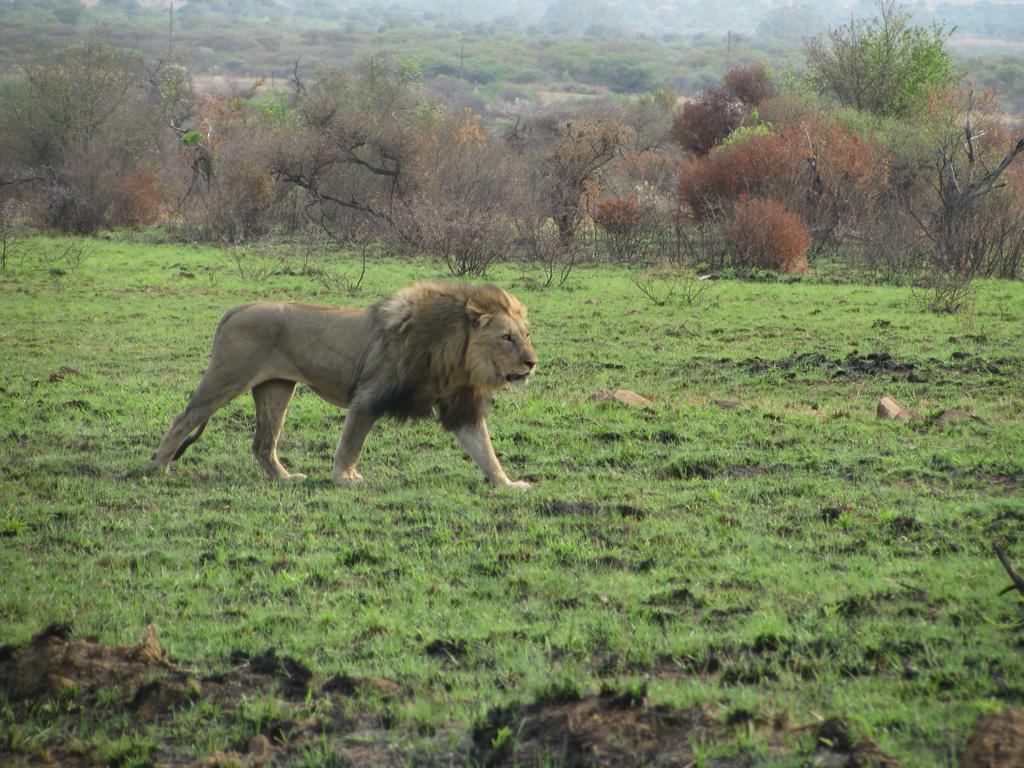 אריה בספארי