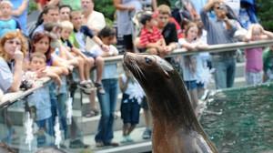 כלב ים מאושר במהלך האכלה, כמה טריקים ויש קהל